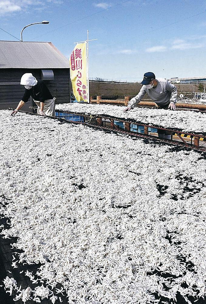 シラスを網に広げて天日干しする組合員=白山市の美川漁港