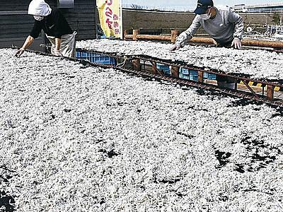 シラス水揚げ本格化 白山・美川漁港