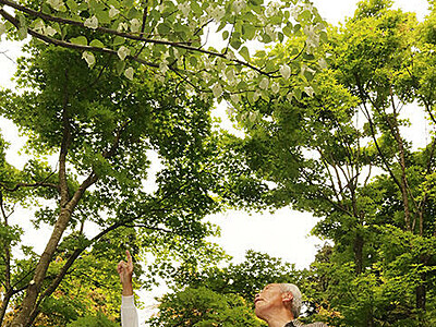 ハンカチノキ見頃 高岡の国泰寺