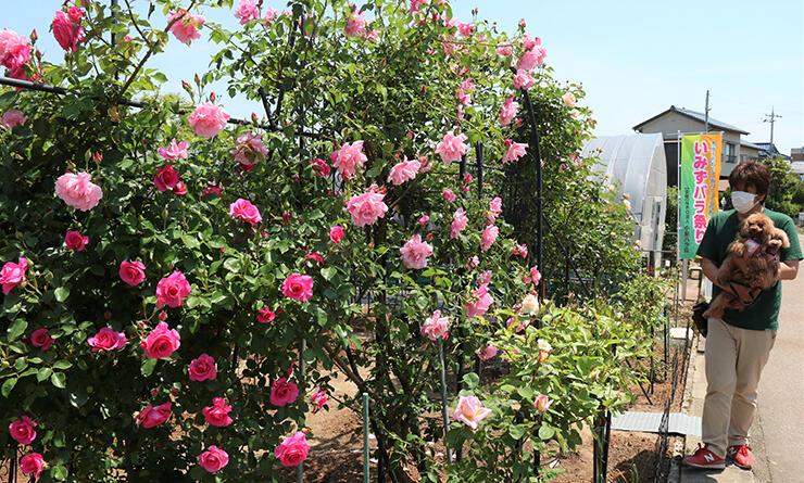 園内に咲く色鮮やかなバラ