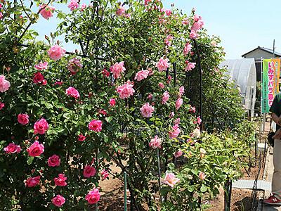 色鮮やか 香りにうっとり いみずバラ祭り