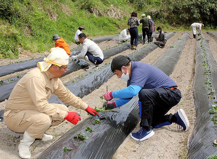 農業体験の一環で行われたサツマイモの苗の植え付け