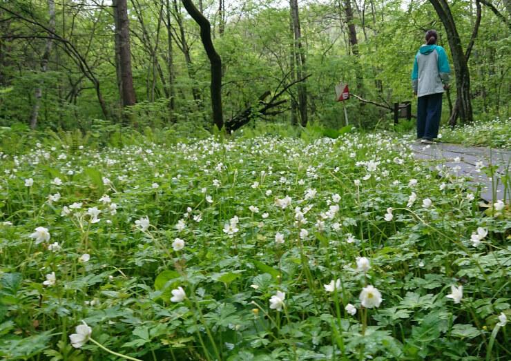 木道の両側で白い花を咲かせるニリンソウ=19日