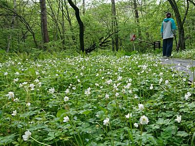 新緑の湿原、ニリンソウの世界 長野・飯綱高原