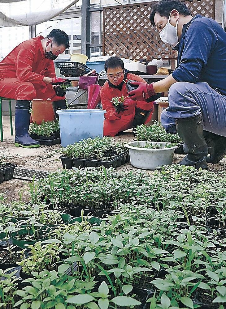 植栽しているホーリーバジルの間引き作業を行う関係者=白山市女原の市観光施設「ハーブの里・響きの森 ミントレイノ」