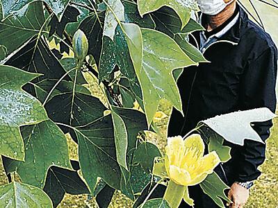 木場潟公園 ユリノキが愛らしい花