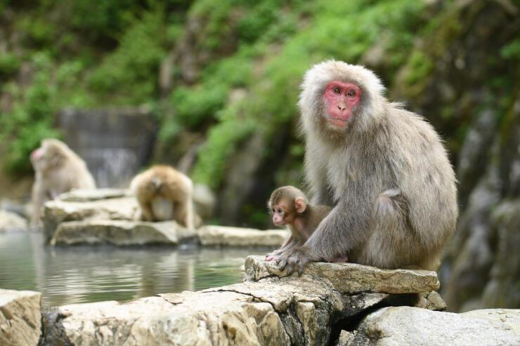 温泉の近くでのんびり過ごすニホンザルの親子=24日午前11時14分、山ノ内町の地獄谷野猿公苑