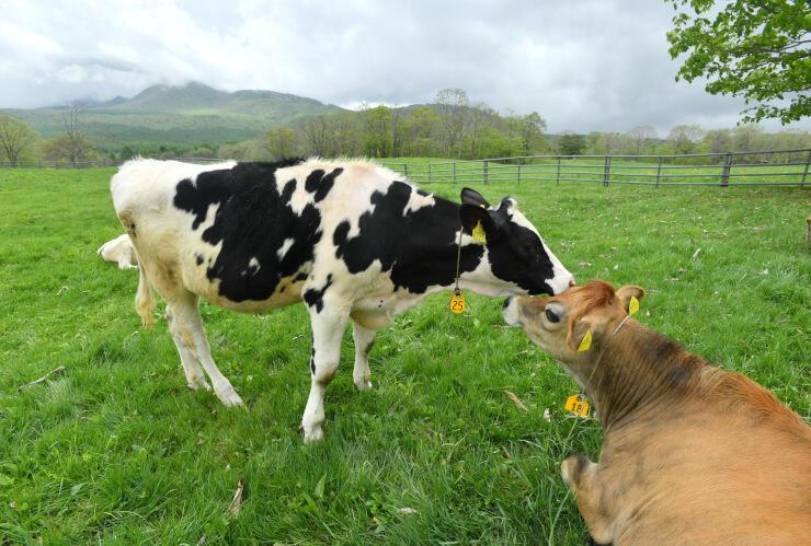 左後方に高デッキ山を望む放牧地。牛が伸び伸びと過ごしていた=25日午前10時12分、長野市戸隠の戸隠牧場