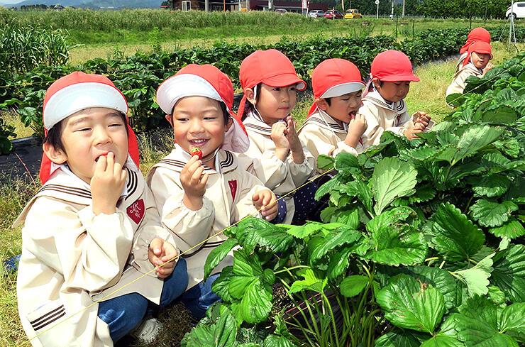 イチゴ狩りを楽しむ園児