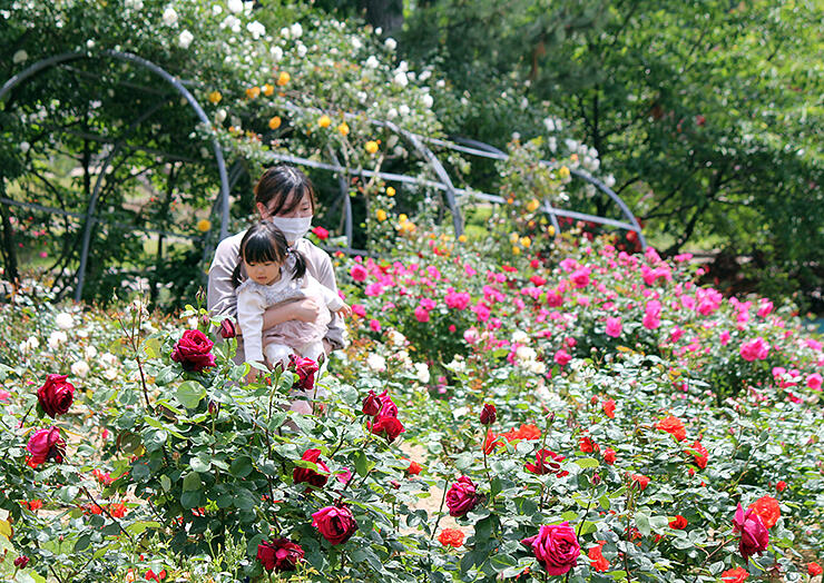 色とりどりのバラが見頃を迎えた園内