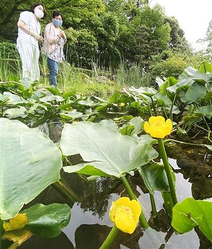 黄色くかれんな花が水辺に映えるコウホネ=5月26日、福井県坂井市の県総合グリーンセンター