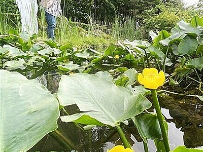 準絶滅危惧種コウホネが開花 福井県で水辺に映える