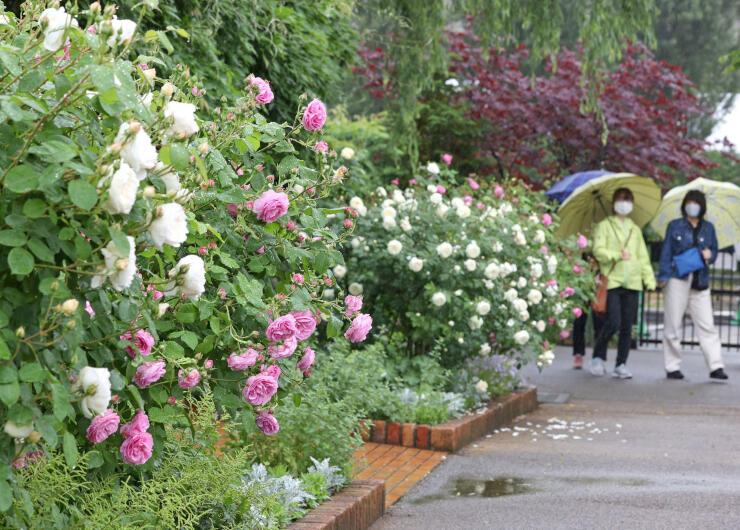色鮮やかなバラが咲き誇る「みつけイングリッシュガーデン」=23日、見附市