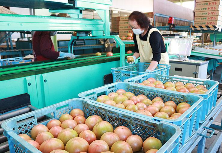 ずらりと並んだトマトを選別する関係者