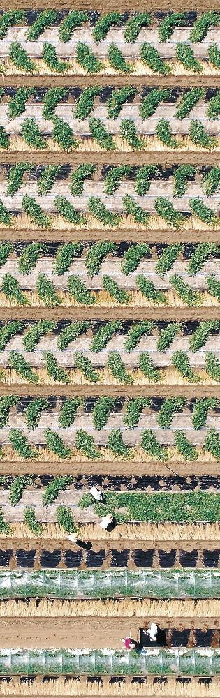 幾何学模様が現れたスイカ畑=白山市倉部町(小型無人機から)