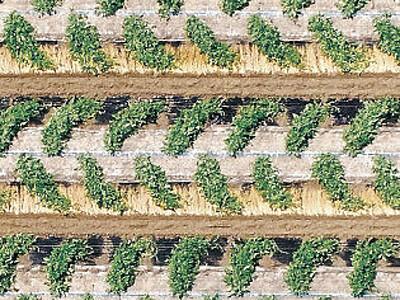 白山のスイカ畑 振分栽培で幾何学模様