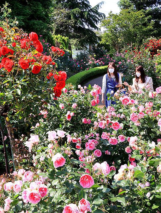 色鮮やかに咲き誇るバラ=県花総合センター