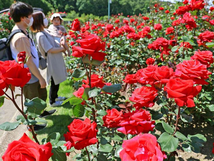 色とりどりのバラが見ごろを迎えた「香りのばら園」=31日、長岡市の国営越後丘陵公園