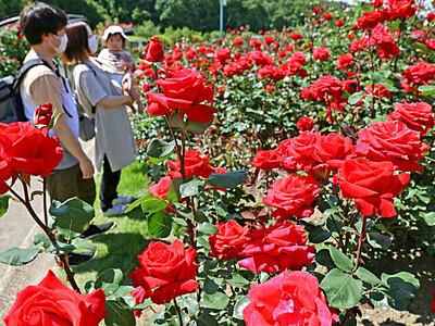 香り気高く バラ見ごろ 長岡・越後丘陵公園