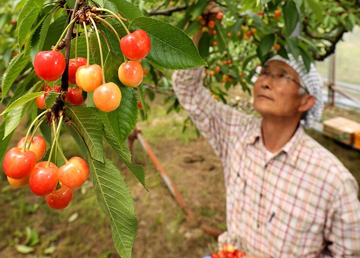 赤く色づき、収穫が始まったサクランボ=稲泉農園