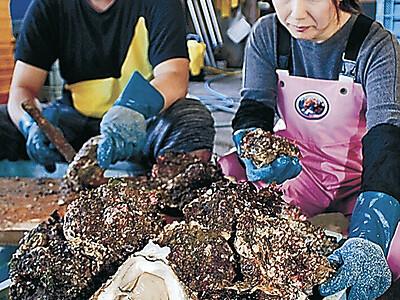ヨコタの岩カキ大ぶり 志賀・高浜沖、素潜り漁開始