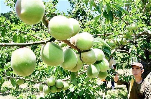 順調に生育が進み、収穫される「剣先」=6月1日、福井県若狭町田井