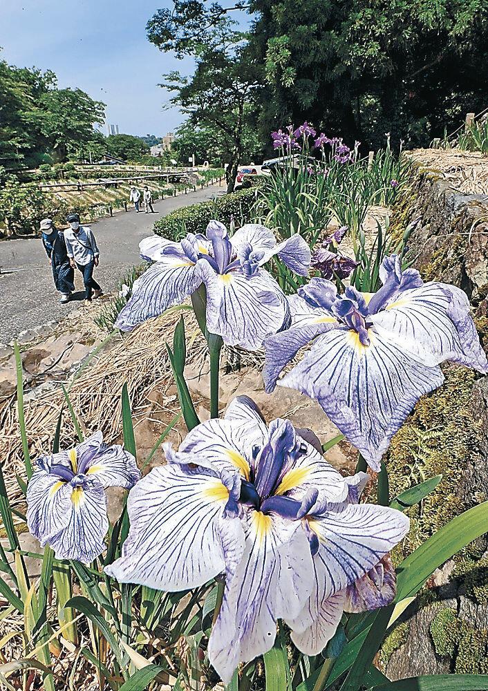 咲き始めたハナショウブ=金沢市の卯辰山公園花菖蒲園