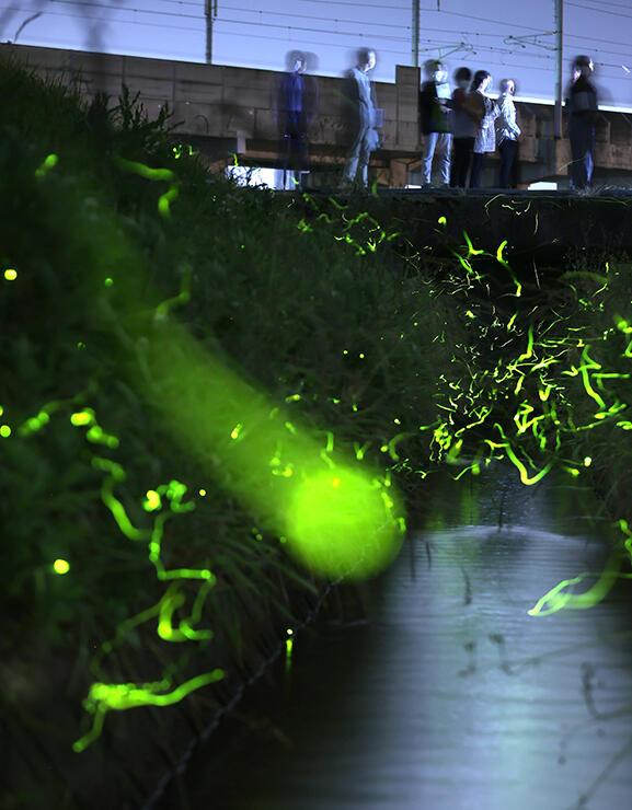 幻想的な光を放ち、用水の上を飛び交うゲンジボタル=6日午後8時40分ごろ、高岡市千鳥丘町(30秒間露光)