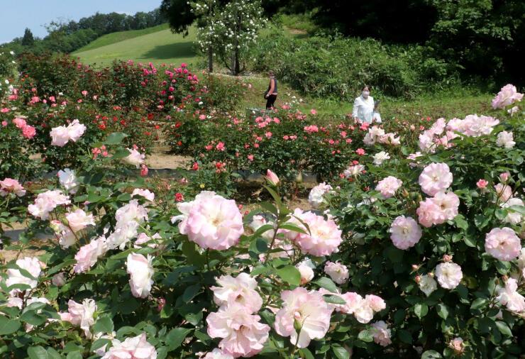 かれんなバラが咲き誇る冬鳥越スキーガーデン=7日、加茂市長谷