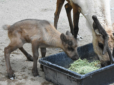 トナカイ赤ちゃん初めて誕生 須坂市動物園、試行錯誤10年余