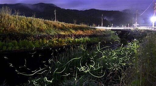 美しく飛び交うホタル=6月4日夜8時20分ごろ、福井県鯖江市北中町(ISO800、絞りF5.6で約2分間露光)