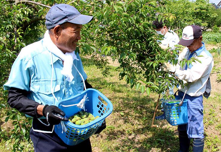 稲積梅の収穫作業を行う稲積梅の里振興会員