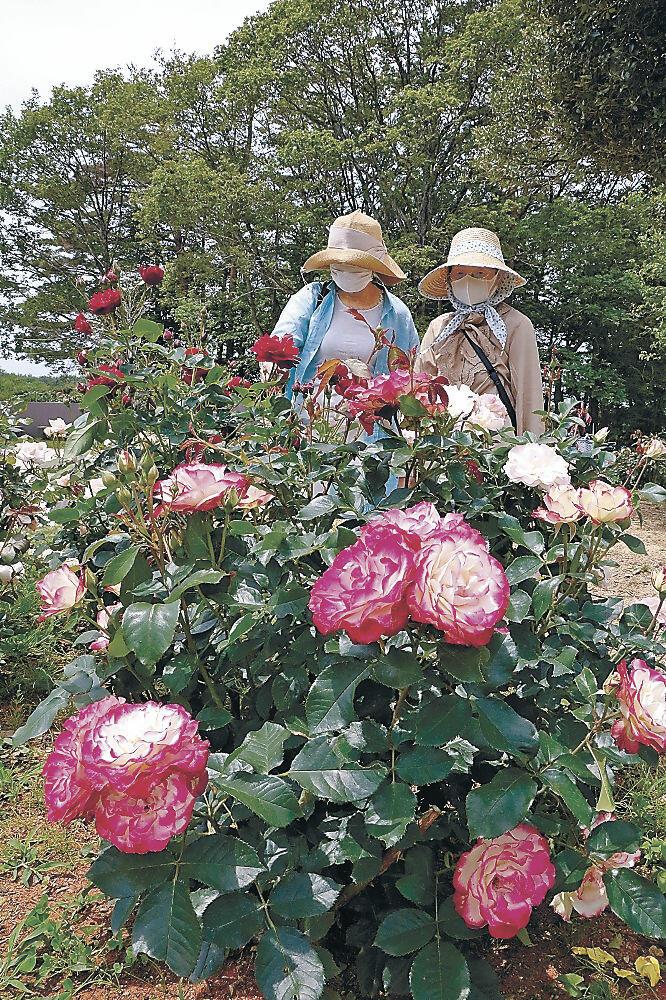 見頃を迎えたバラ=能登町柳田植物公園