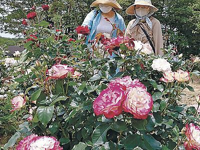 色とりどりバラ見頃 能登・柳田植物公園、40種類165本咲き誇る