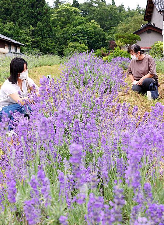 畑を鮮やかな紫色に彩るラベンダー=富山市池多