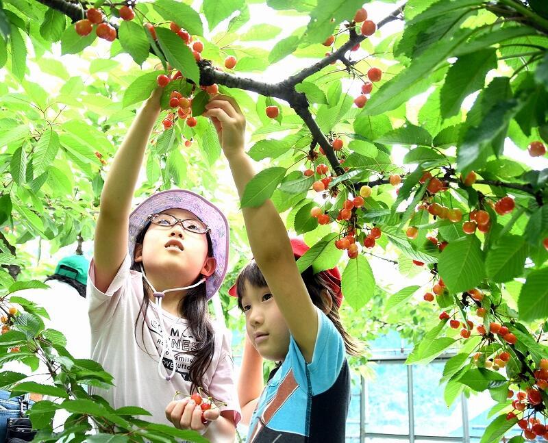 サクランボ狩りを楽しむ子どもたち=6月12日、福井県越前市中山町の観光農園「どんぐり山」