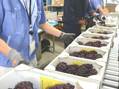デラウェア、松本で出荷始まる 糖度25度も「10年以上検査し初」