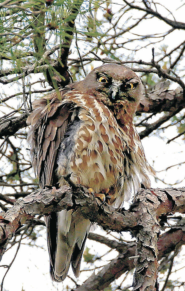 枝の上で羽を休めるアオバズク=兼六園瓢池付近