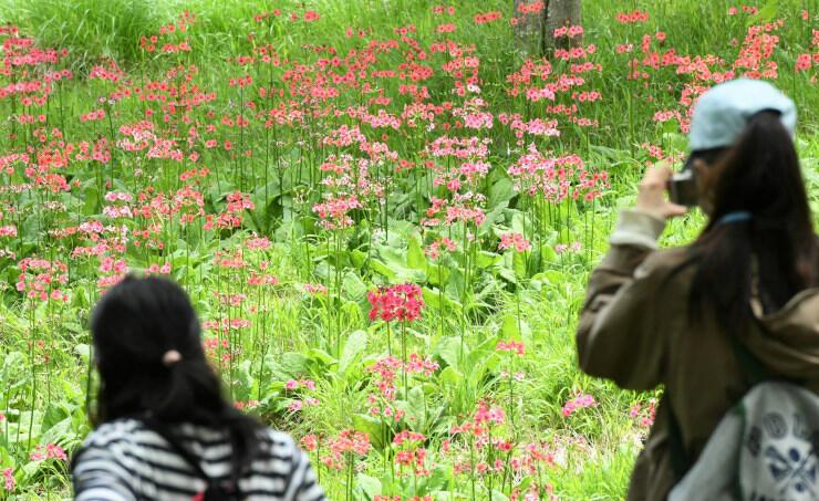入笠湿原周辺のクリンソウ