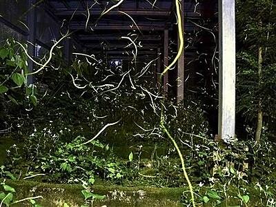 ホタルの里守り半世紀 住民一丸で豪雨乗り越え 福井市