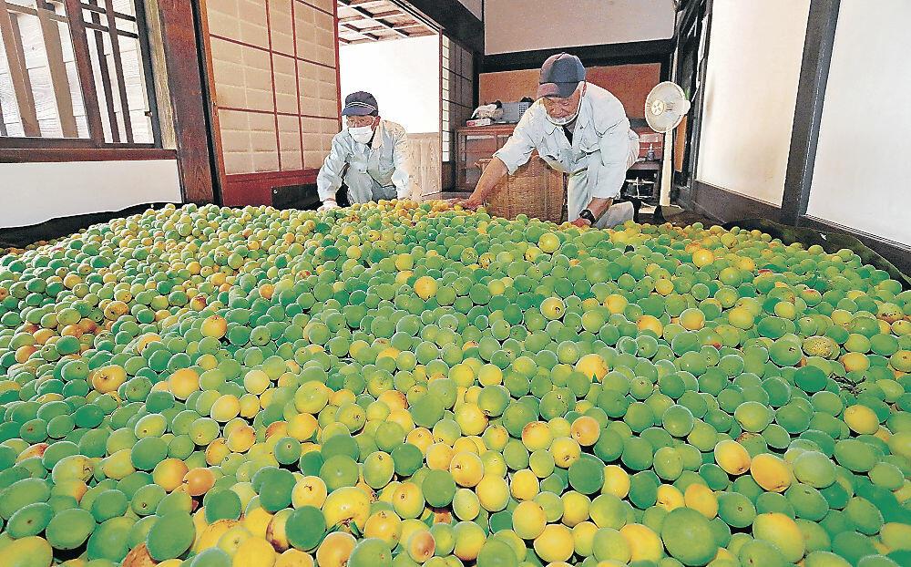 収穫後に並べられた梅=県金沢城・兼六園管理事務所分室