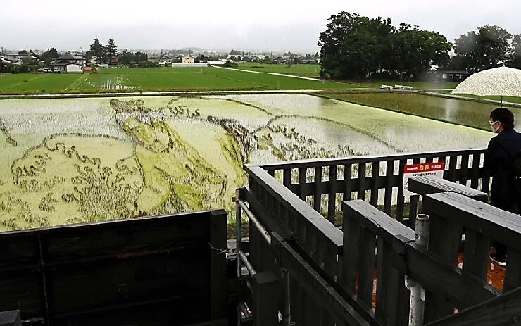7色の稲で御嶽海関を表現し、公開が始まった田んぼアート
