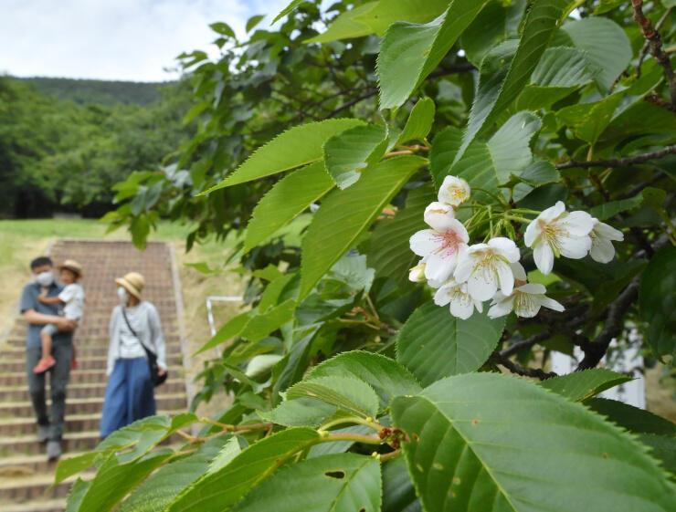 季節外れに咲いたソメイヨシノの花=20日