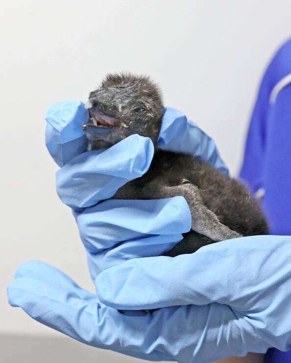 8日に生まれたばかりのマゼランペンギンのひな。10日間で体重約100グラムにまで成長した=18日、上越市