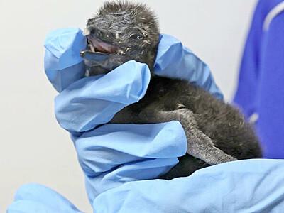 赤ちゃんペンギン続々誕生 特別企画も 上越・うみがたり