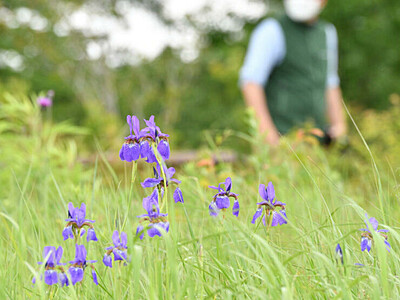 鮮やか紫、初夏告げるアヤメ 富士見高原リゾート