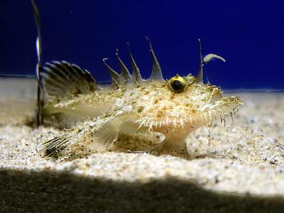 小さなキアンコウ見て 魚津水族館、シロエビ漁に紛れ捕獲