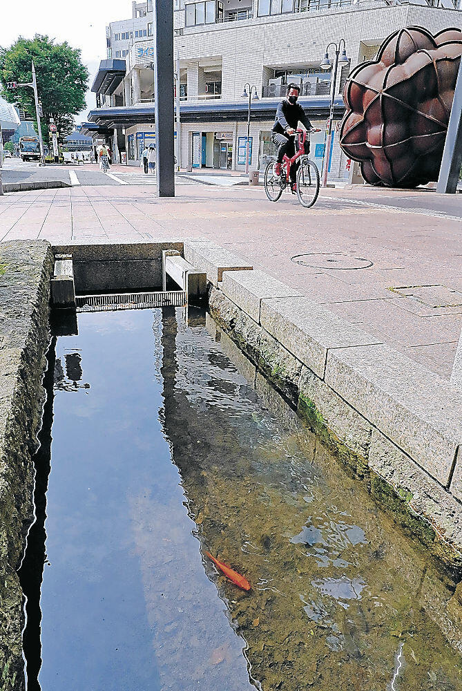 水が戻った用水を優雅に泳ぐ金魚=金沢市此花町