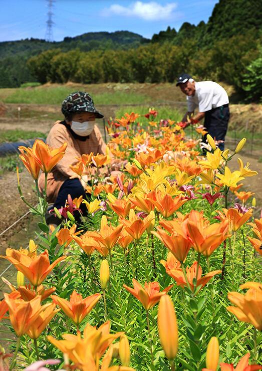 鮮やかな花を咲かせた県開発品種のユリ=小矢部市松尾