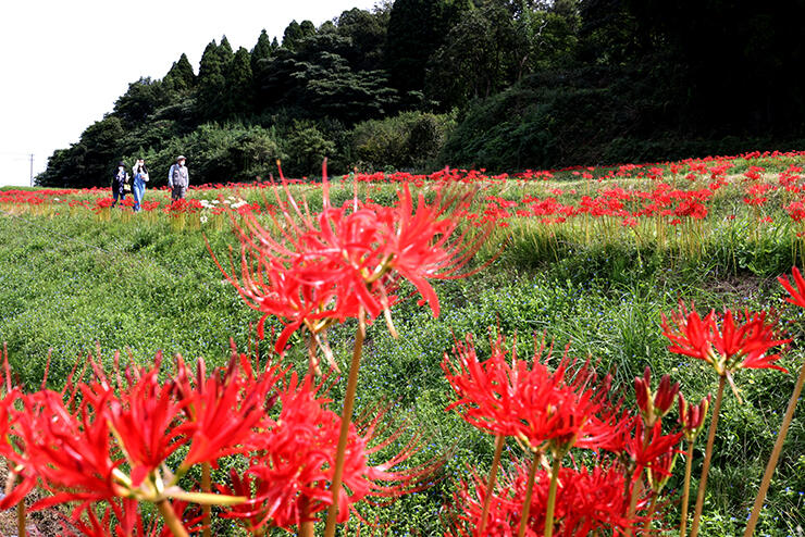 住民が田んぼのあぜや農道沿いに植えて増やしてきたヒガンバナ=2020年9月、小矢部市五郎丸